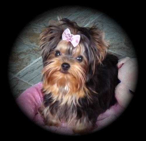Thundering Hill Yorkies Baby Doll Yorkies For Sale In British