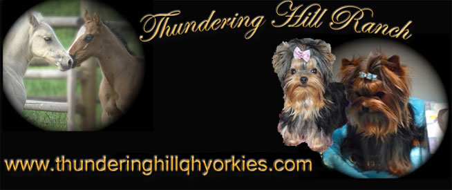 Yorkies For Sale In British Columbia Canada Baby Doll Yorkies For
