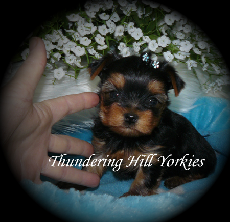 White Yorkie Puppies For Sale In New York