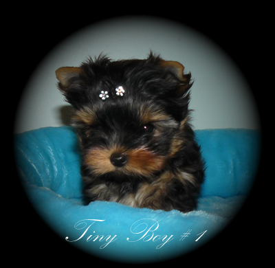 Yorkies For Sale In British Columbia Canada Baby Doll