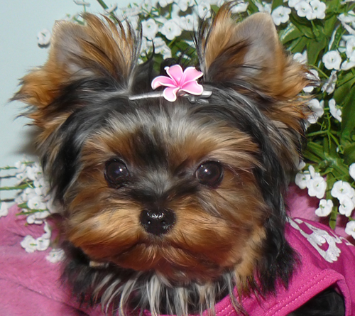 THUNDERING HILL YORKIES FOR SALE | BABY DOLL YORKIES FOR SALE IN