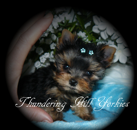 YORKIE PUPPIES FOR SALE | B C  Canada | teacup yorkies for sale