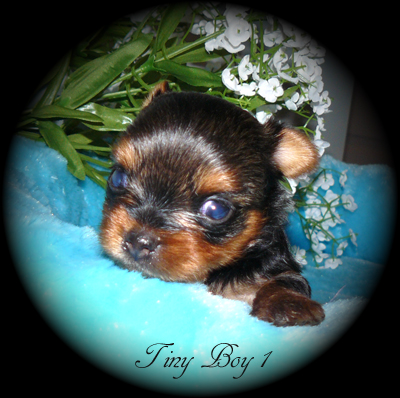 YORKIES FOR SALE in British Columbia Canada, BABY DOLL