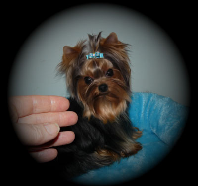 THUNDERING HILL YORKIES FOR SALE   BABY DOLL YORKIES FOR