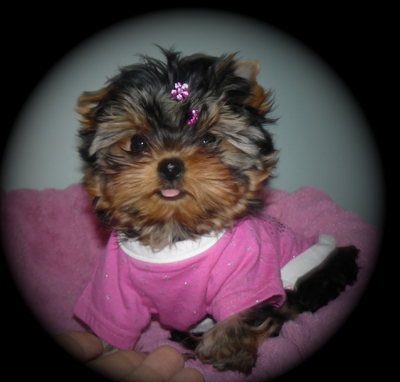 YORKIES FOR SALE in British Columbia Canada, BABY DOLL YORKIES for
